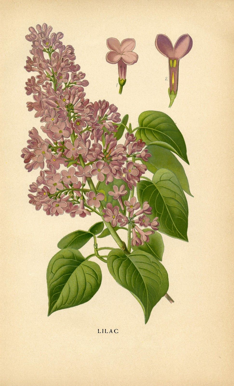 Yay For Spring And Much Love To Karen The Graphics Fairy For This Fab Lilac Free Printable H Botanical Illustration Vintage Vintage Botanical Instant Art