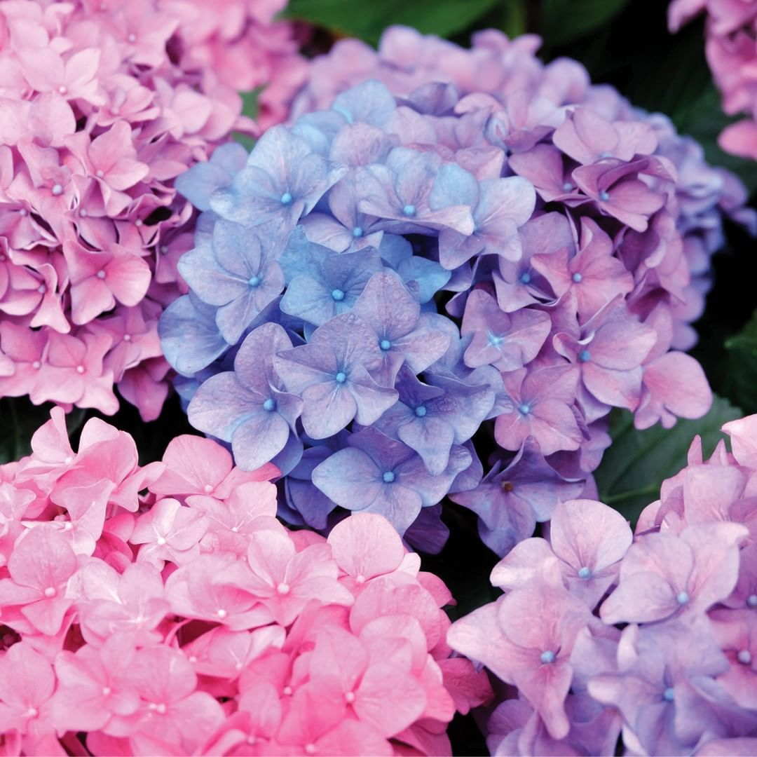 Did You Know That You Can Change Your Hydrangea Flowers From Pink To Blue And From Blue To Pink You Can Do This By I Hydrangea Colors Hydrangea Flower Flowers
