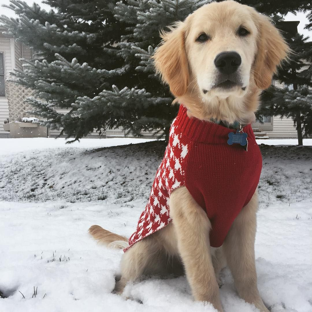 Red golden retriever puppies for sale michigan