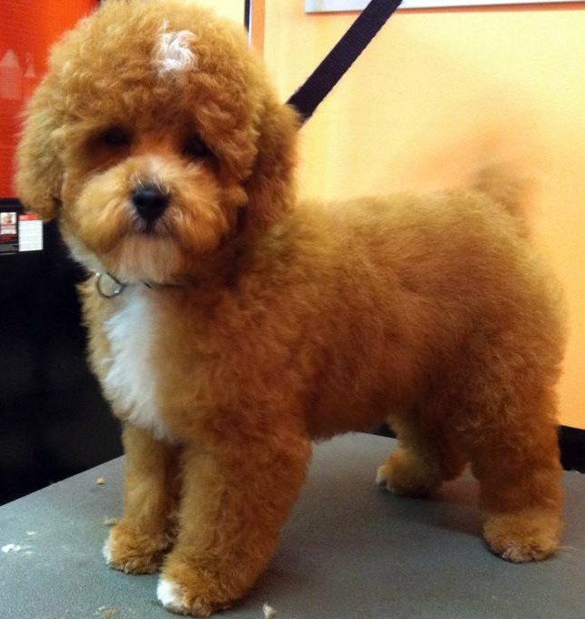Teddy Bear Poodle Haircuts Hard To Resist With Images Poodle