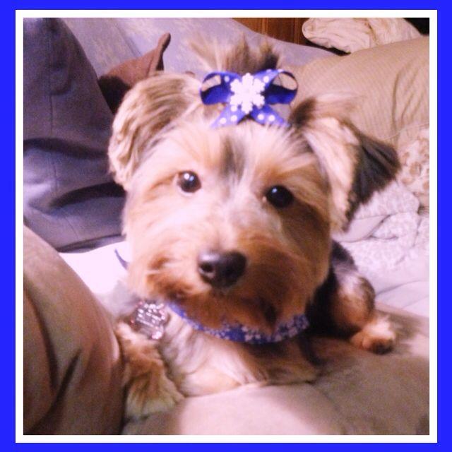 #yorkie #yorkshire #yorkshireterrior #miniatureyorkie #teacup #teacupyorkie #dog #puppy