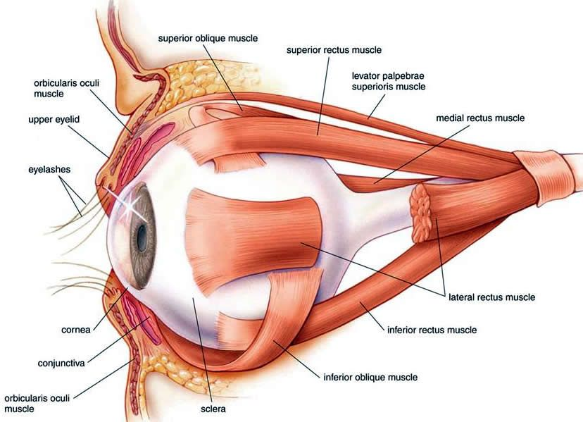 the sensory system. the muscle components of the eye | iv, Muscles