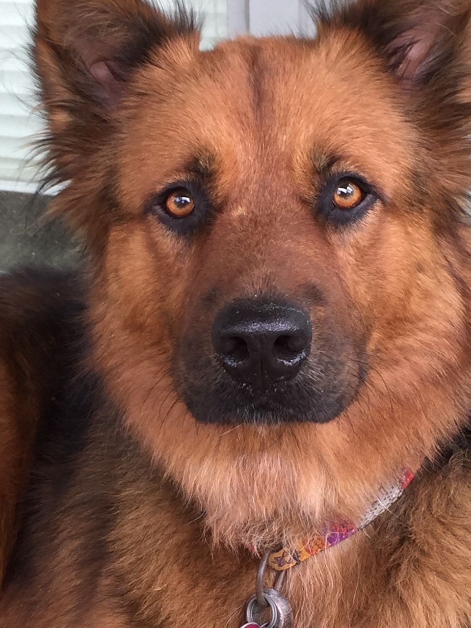 My German Shepard X Chow Mix Luna Who Has The Prettiest Honey