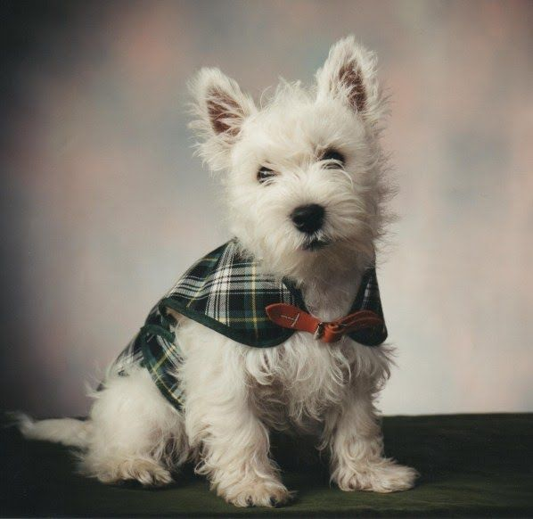 A Short Story A Tribute To Douglas The Westie Westie Dogs Westie Puppies Westies