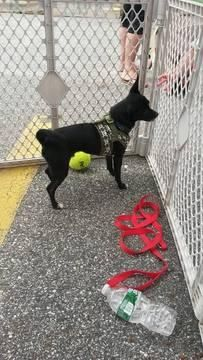 Domino (reduced rate) MinPin & Chihuahua Mix • Adult • Male • Small 5 yrs old The Pixel Fund Gorham, ME