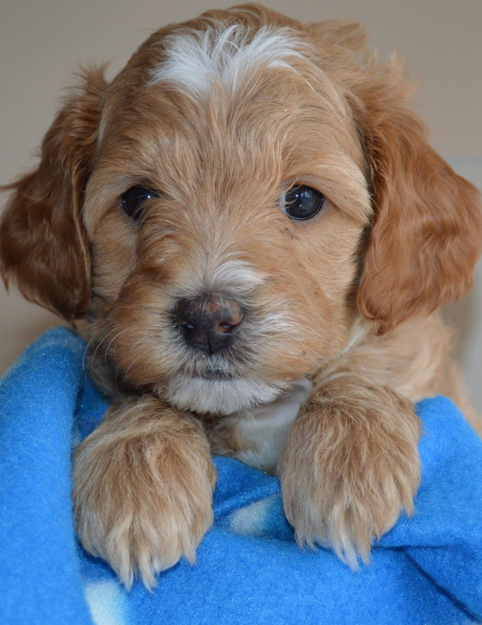 Australian Labradoodle Puppy (With images) Labradoodle