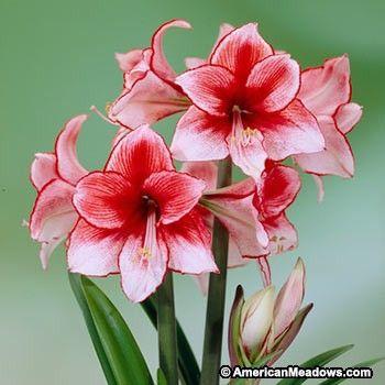 Charisma Amaryllis Bulb American Meadows Amaryllis Bulbs Amaryllis Flowers Amaryllis