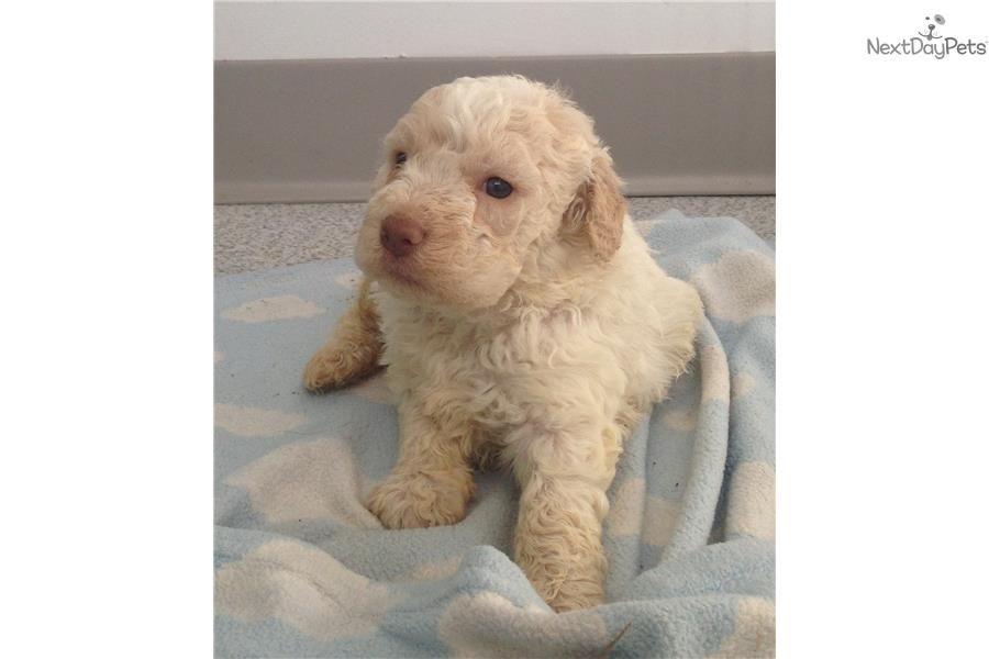 Cupid Lagotto Romagnolo Puppy For Sale Near Binghamton New York