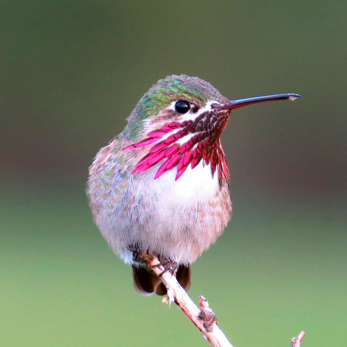 What Varities Of Birds Are Visiting Your Backyard: 10 Incredible Hummingbird Species You Could See In Your
