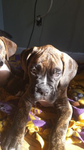Litter Of 4 Boxer Puppies For Sale In Sun Prairie Wi Adn 36857 On