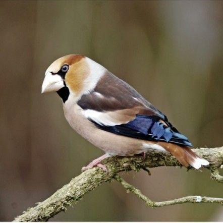 Gros bec casse noyaux avec son plumage magnifique for Oiseau marron