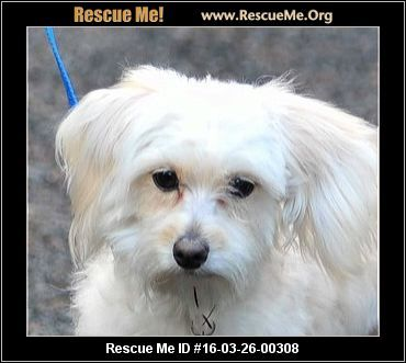 """Click here to view Maltese Dogs for adoption, or post one"