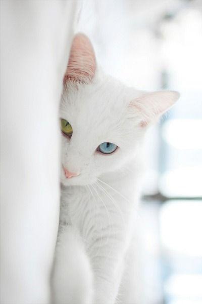 Beautiful Odd Eyed Kitty Possibly A White Turkish Van Perhaps A Khao Manee Cuz Of Its Diamond Shaped Eyes Animals Beautiful Cute Animals Pretty Cats