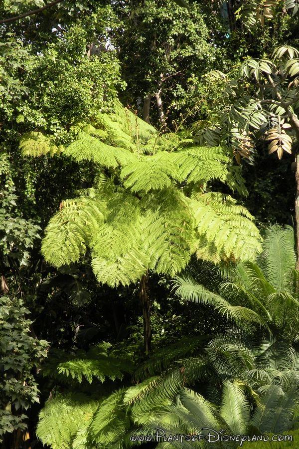 Common Name: Australian Tree Fern Scientific name: Cyathea cooperi  USDA Hardiness Zones: 8a-11 Pronunciation: sigh-ATH-ee-uh koo-PER-ee Family: Cyatheaceae Foliage: Evergreen