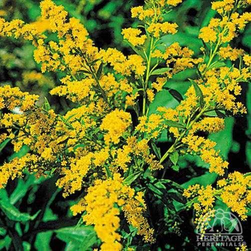 Pin On Sun Perennials Flowering Shrubs For Zone 4