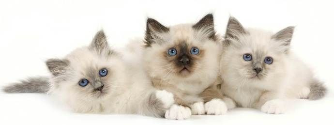 Blood Groups In Feline 8 Facts About Ab My Blog On Elite Breeders Club Blood Groups 8 Facts Six Pack Abs