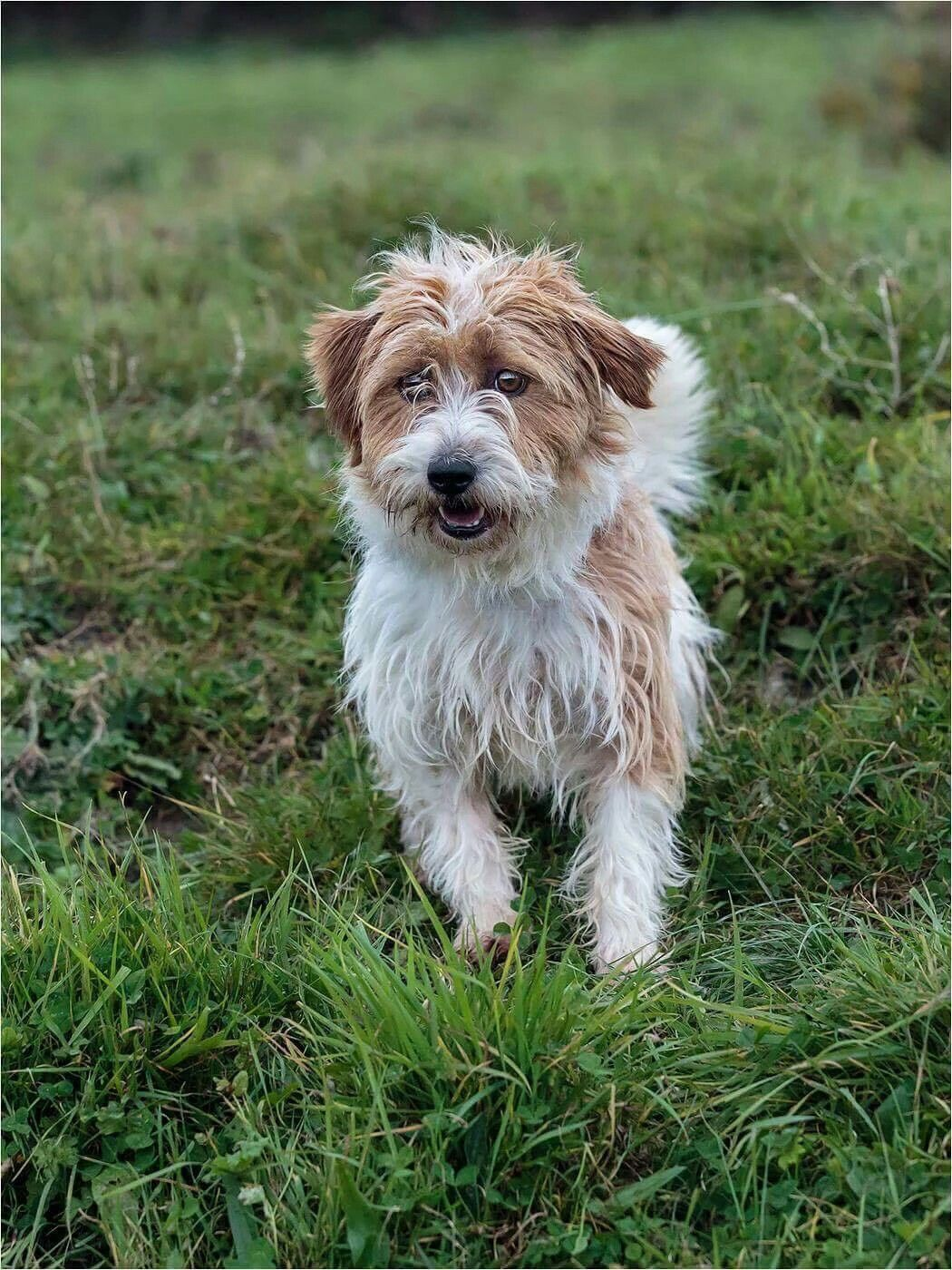 Scamp In West Wales Poundies Very Friendly Little Terrier Looking For A Home Urgently Rescue Dogs Dogs Rehoming