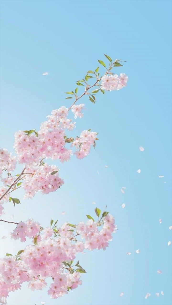Pin By Julia On Cherry Blossoms Wallpaper Tumblr Lockscreen Anime Wallpaper Iphone Spring Wallpaper
