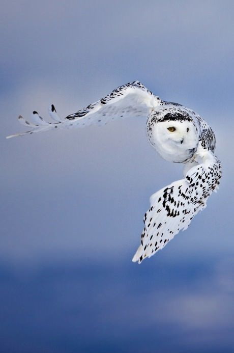 awesome owl picture also the greek god athena goddess of