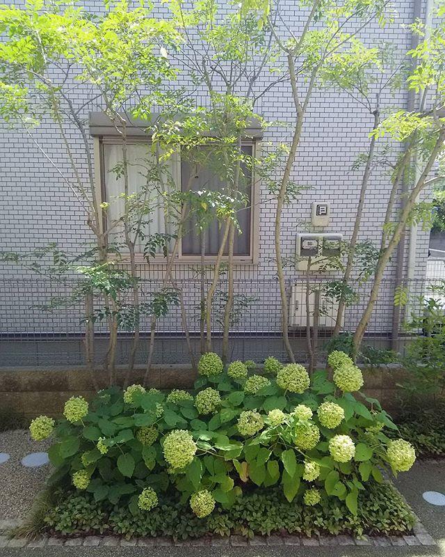 以前庭のリフォームさせていただいたお客様宅にて 玄関開けたらこれ アジサイ アナベルが毎年よく咲いてくれてます 冬になったらアジサイは無くなりますが 株周りに スノードロップ 奥に レンテンローズ を植えてるので 花が順に咲きます そういう工夫