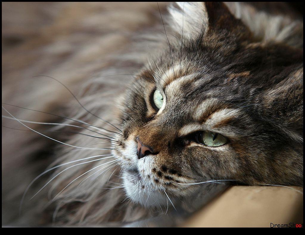 meikun cat Google Search Gatos, Animais de estimação