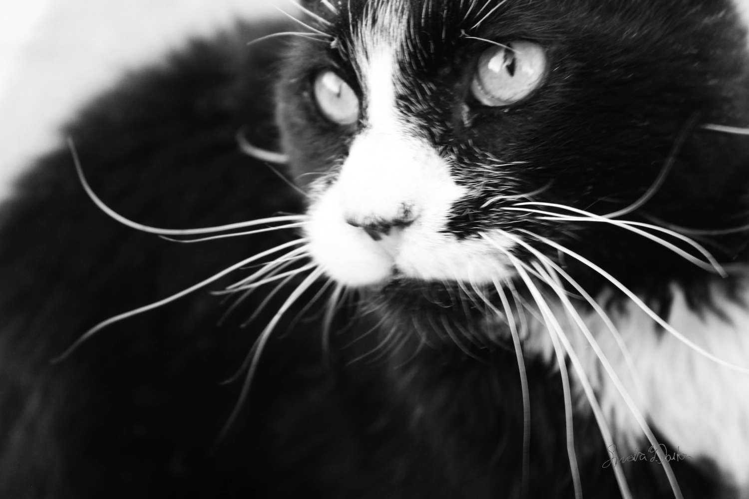 Feral Cat Photography Black And White Photo Veterinary Art Wall - This photographer is celebrating stray cats through majestic portrait photographs