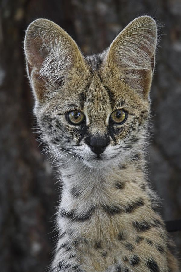 Cute As A ButtonbyWes and Dotty Weber  Serval - Leptailurus serval