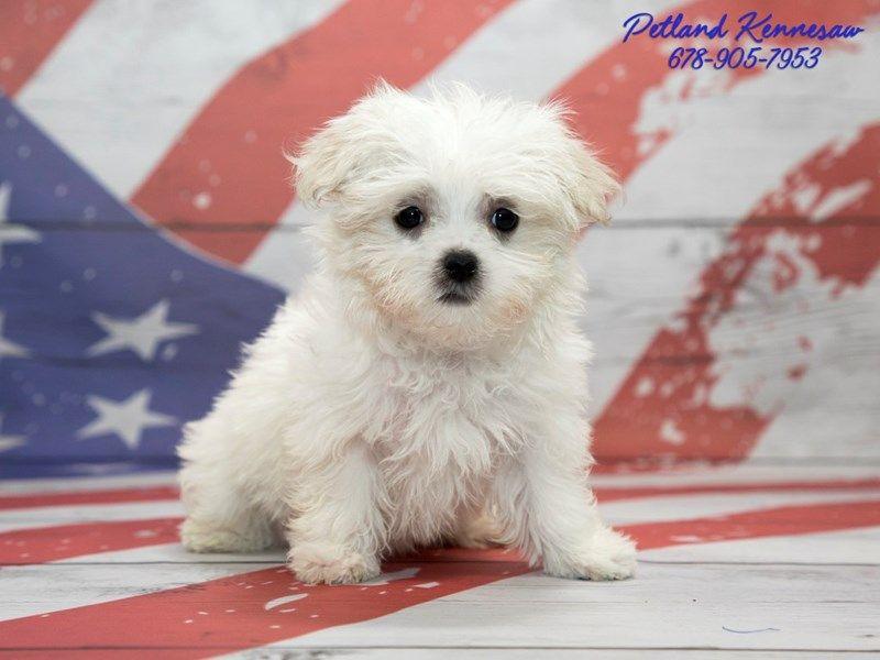 Checkout This Cute Maltese 20754 At Petland Kennesaw Maltese