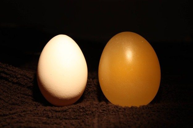 Soak a raw egg in vinegar, and it's shell will dissolve in less than 2 days. It turns rubbery and opaque.
