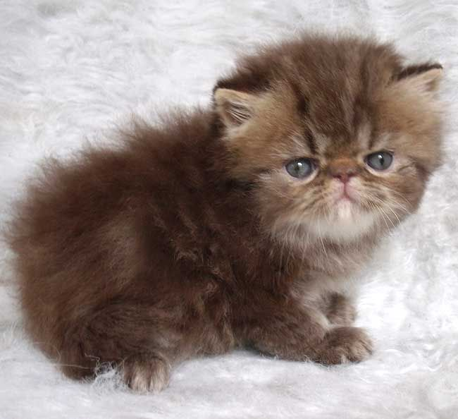 Himalayan Kittens for Sale by MeowHouseKittens.com | Too ...