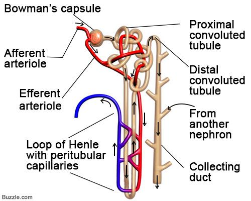 Nephron diagram google search anatomy study tools pinterest nephron diagram google search ccuart Gallery