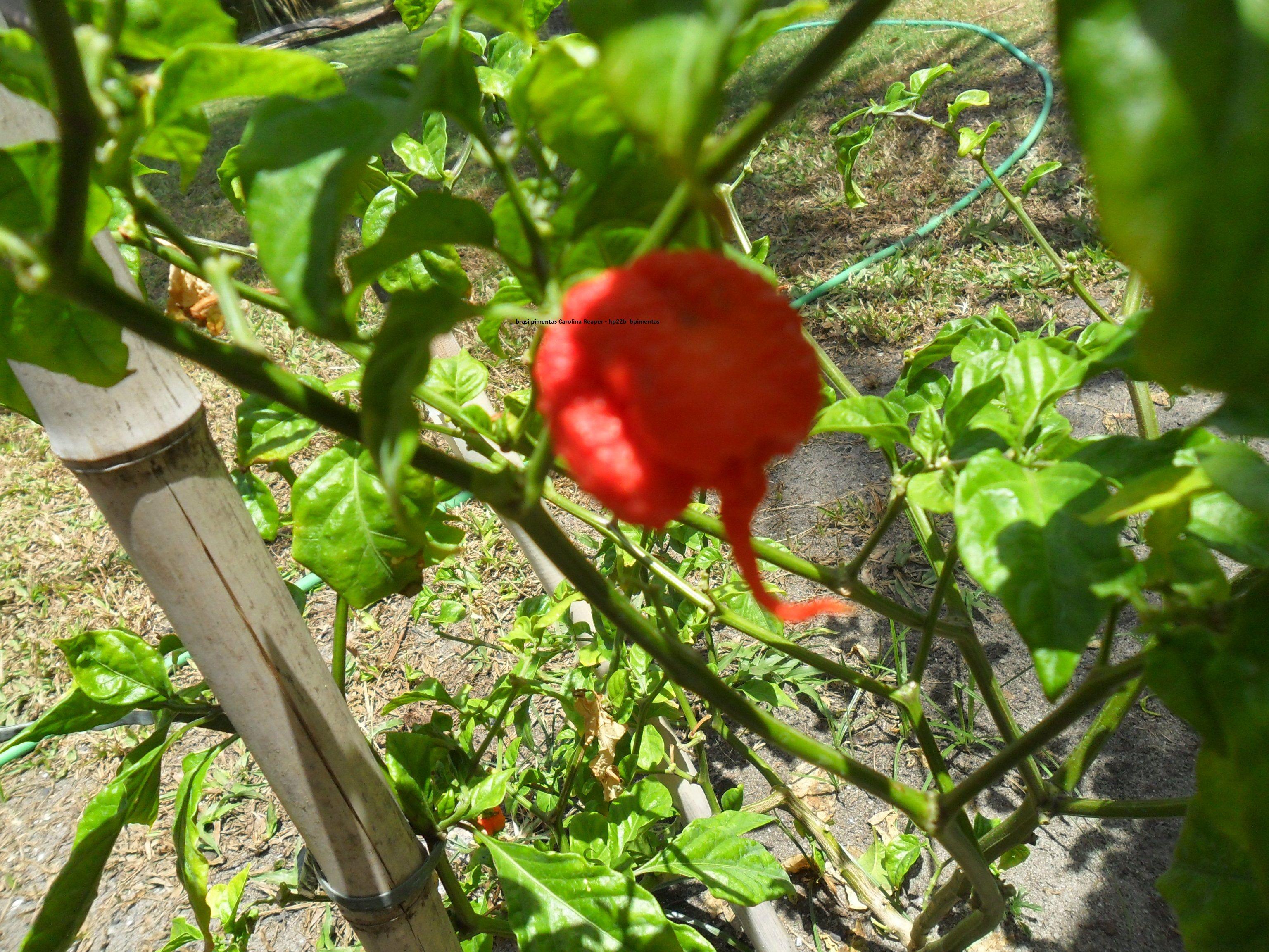 Carolina Reaper N 1 Do Mundo Producao Brasil Pimentas