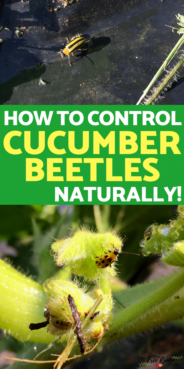 Is your garden being taken over by cucumber beetles? Learn