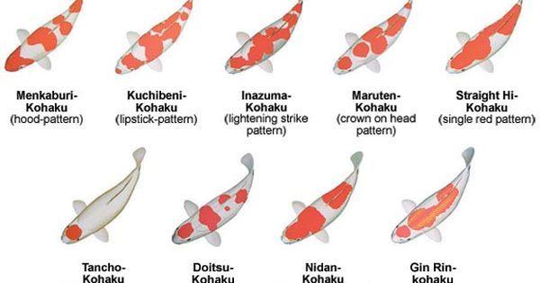 How To Breed Koi Carp Google Search Everything Koi My Dream Koi Carp Koi Fish Koi