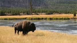 Image result for bison with Indians