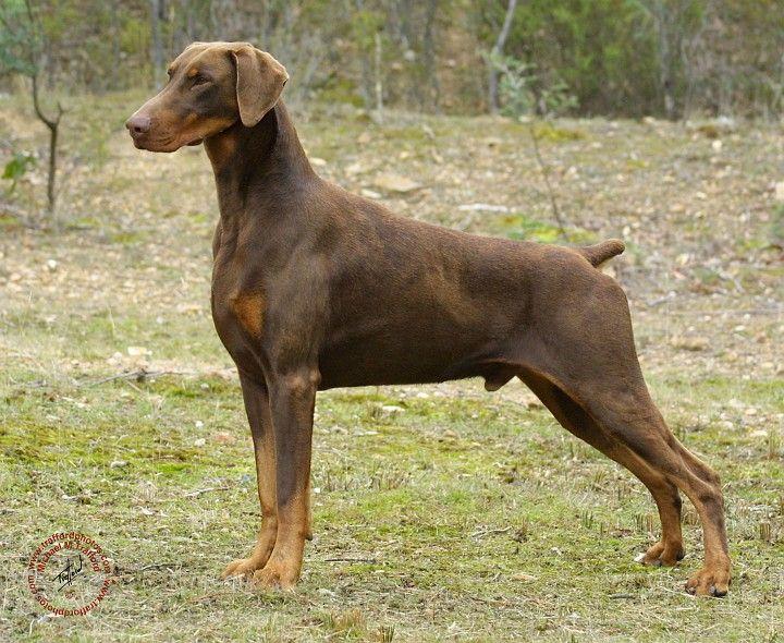 Doberman Pinscher Guard Dogs For Sale Uk