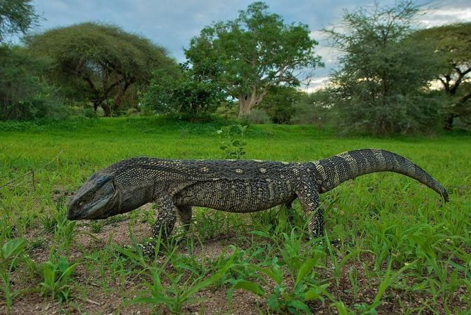 Varanus Albigularis White Throated Monitor Reptiles And
