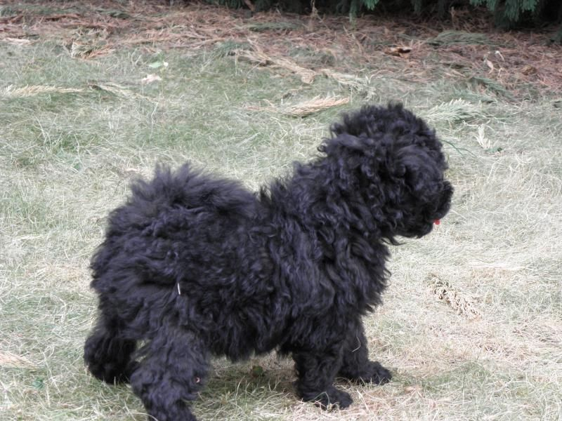Puli Puppies For Edogshow English Dogs 101