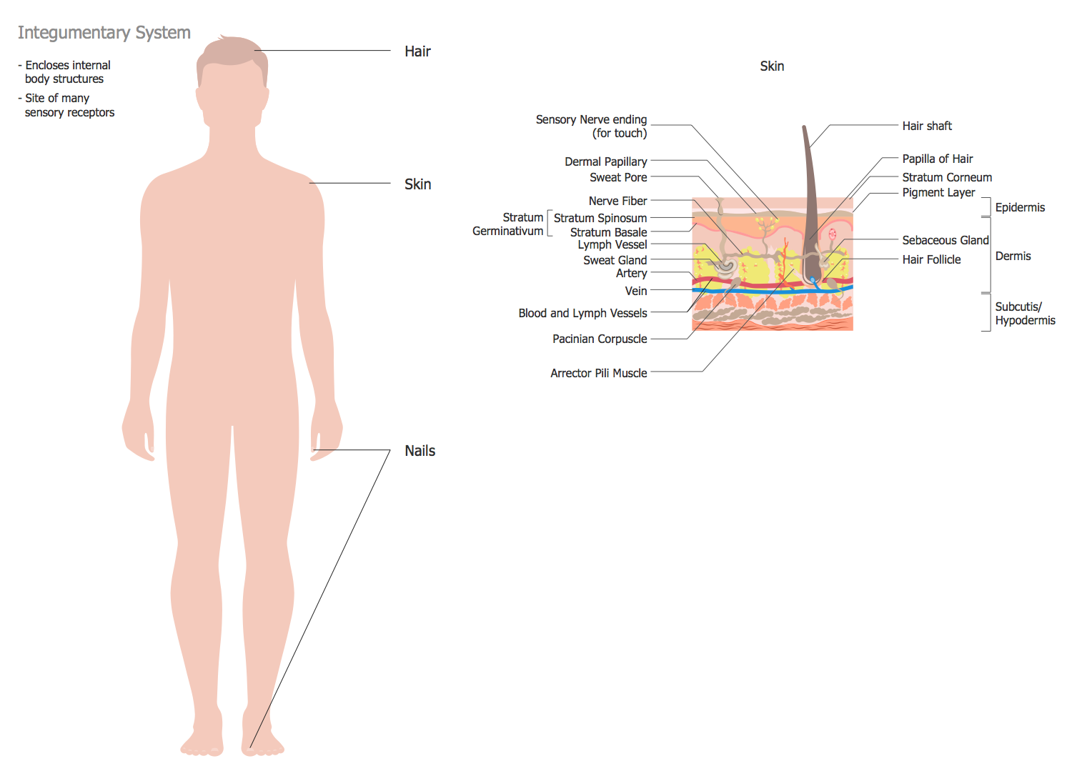 Human Anatomy — #Integumentary #System | This system includes the skin,  hair and