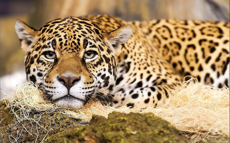 Jaguar Animal Live Wallpaper 8a6515 H900 Jpg 1 440 900 Pixels Katzen Fotos Jaguar Tier Ausgestopftes Tier