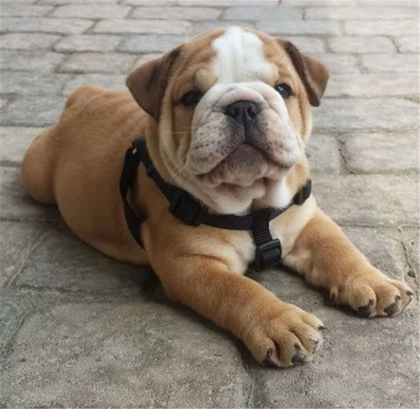 20 English Bulldog Puppies And Facts You Should Know Puppy