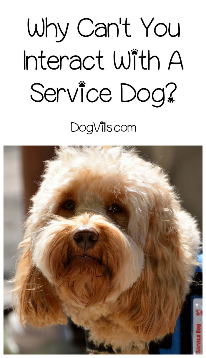 Why Can't You Interact With a Service Dog Service dogs
