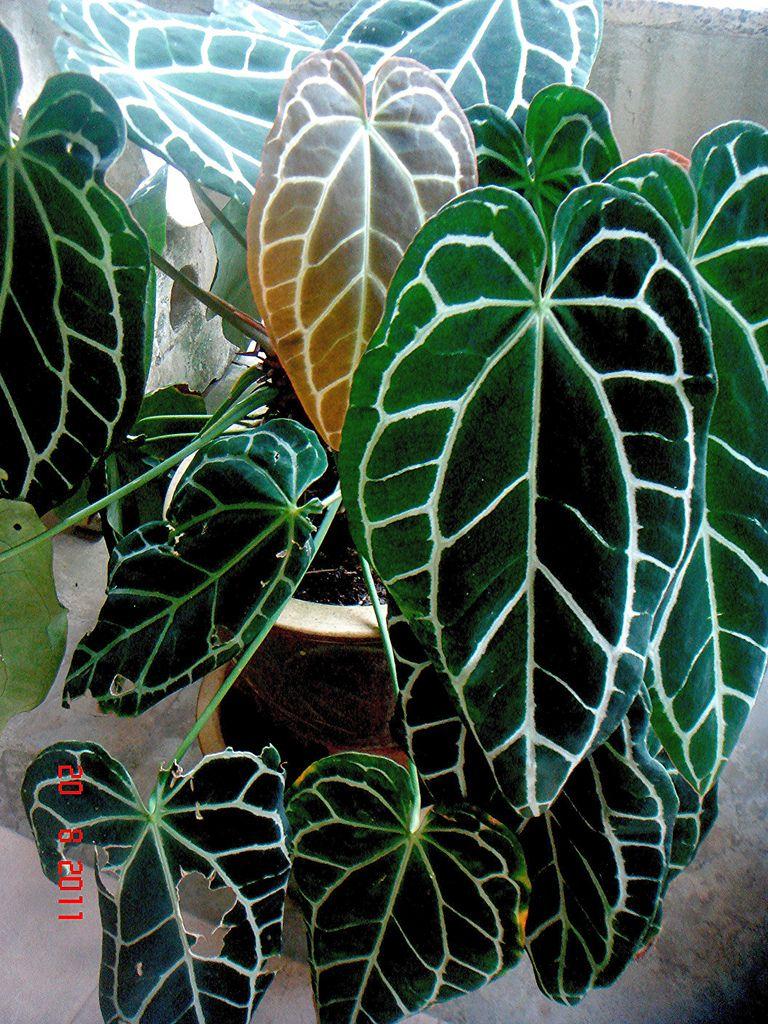 Anthurium Crystallinum Shade Garden Plants Variegated Plants Greenhouse Plants