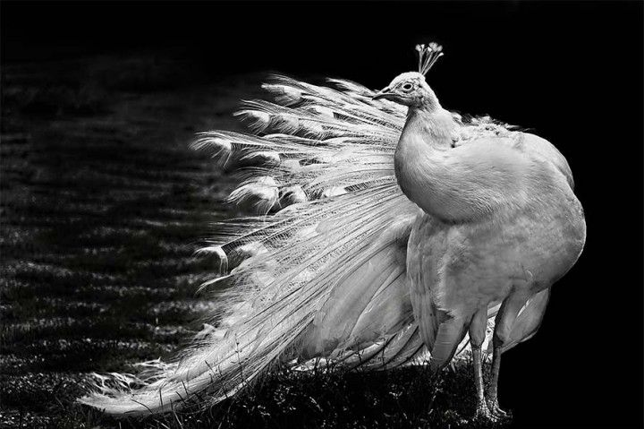 Beautiful black and white photo of a white peacock high resolution jpeg