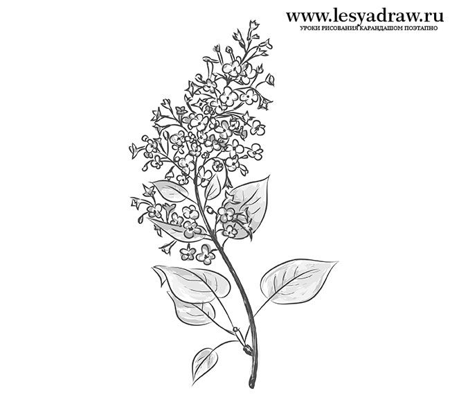 How To Draw A Lilac With A Pencil Step By Step Lilac Tattoo Floral Tattoo Sleeve Floral Tattoo