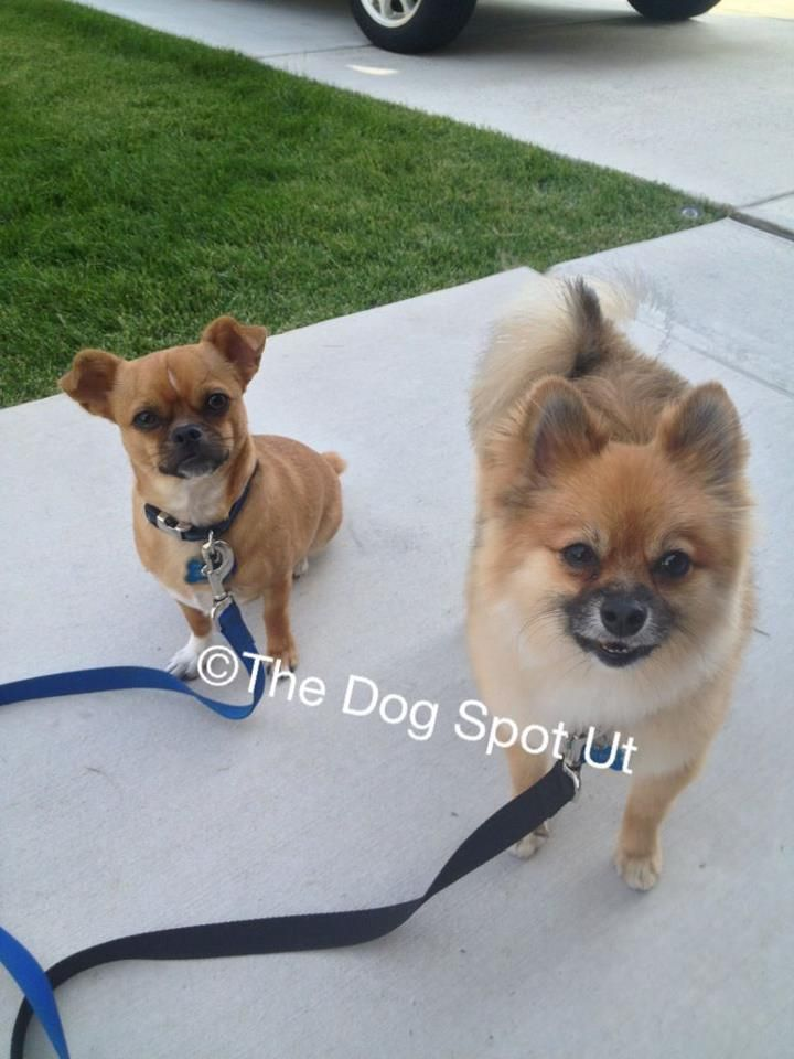 Pug Chihuahua Mix Pomeranian Utah Dog Groomer The Dog Spot