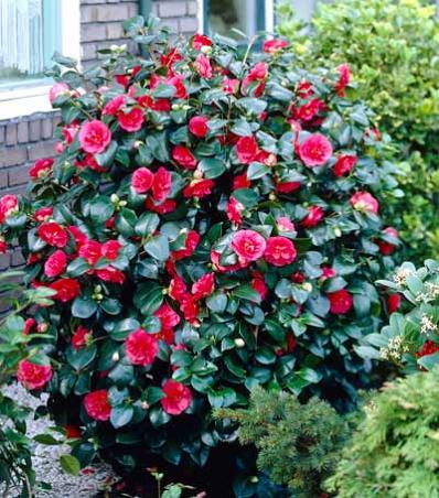 Kramers Supreme Camellia Japonica For Sale Camellia Plant Shrubs Shrubs For Sale