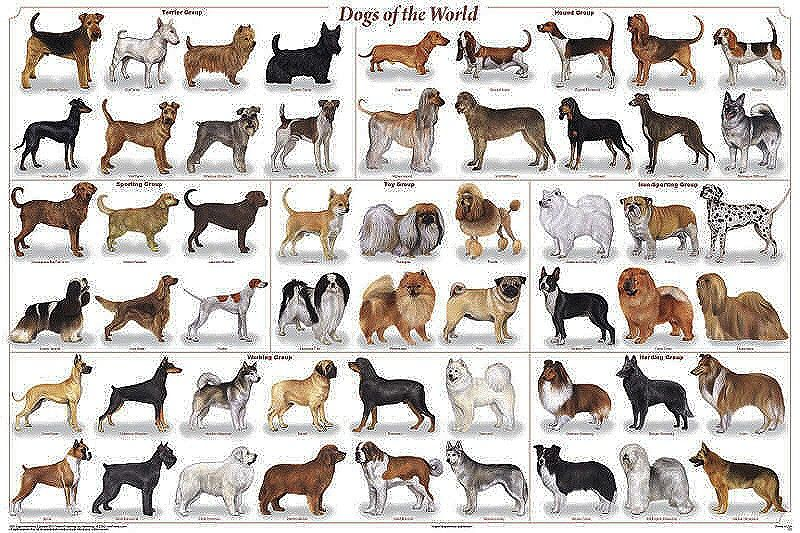 Dogs of the World Premium Poster Identification charts Dyr