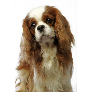 Chiots Cavalier King Charles Spaniel A Vendre Eleveurs Online Com Chiot Cavalier King Charles Cavalier King Charles Roi Charles