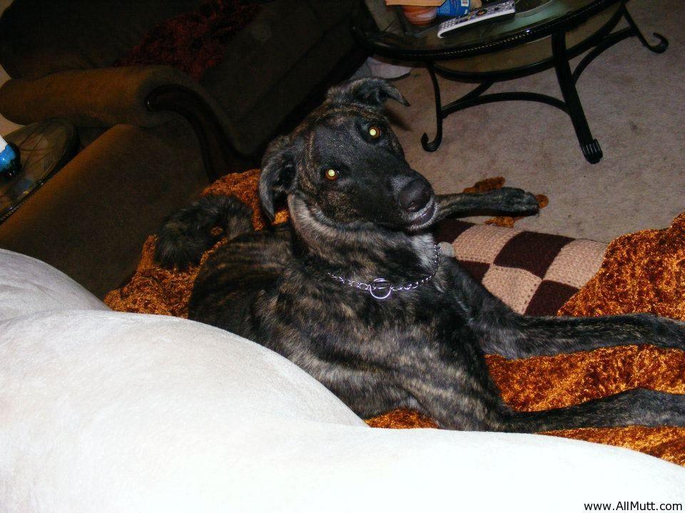 Lynde The Dutch Shepherd Greyhound Mix Greyhound Shepherd